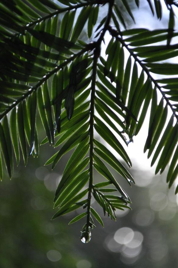 Raindrops on Redwood leaves (needles?)