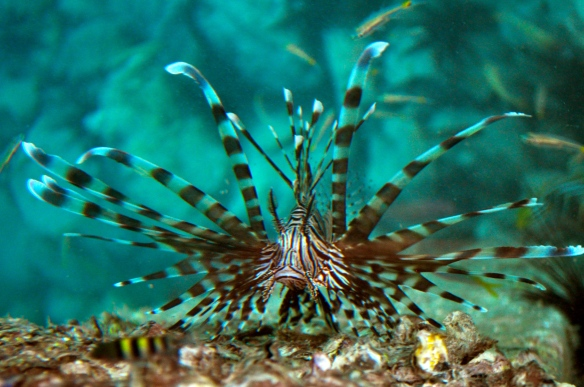 Not a great shot, but this is one of the resident lion fish hanging out by t he dock