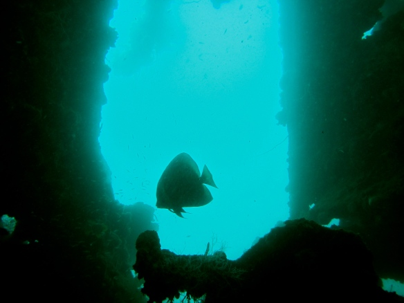 Batfish lingering around a wreck